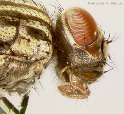 Lateral View Of The Head An House Fly Musca Domestica Linnaeus