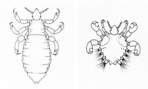 body louse and head louse, Pediculus spp