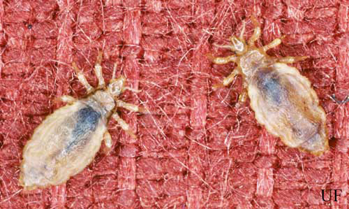 Louse And Head Pediculus Spp, How Long Can Lice Live On Clothes And Bedding