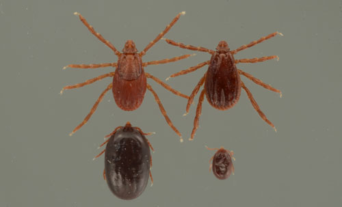 Life Stages Of The Brown Dog Tick  Rhipicephalus Sanguineus Latreille Clockwise From Bottom