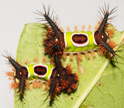 Mature from larva to adult during