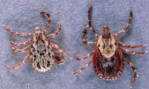 American dog tick - Dermacentor variabilis (Say)