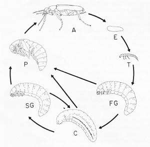 Beetle Reproduction Blister Beetle Life Cycle A