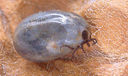 Adult deer ticks