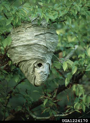 Ground Hornets Nest Look Like http://entnemdept.ufl.edu/creatures/urban/occas/hornet_yellowjacket.htm