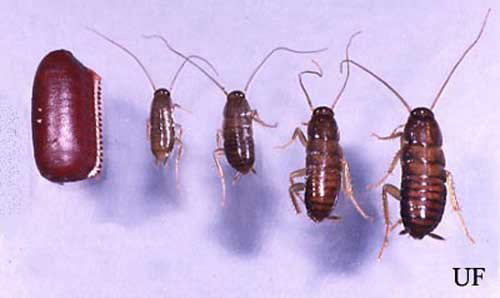 Ootheca and first, second, third and fourth instar nymphs of the American cockroach, Periplaneta americana (Linnaeus).