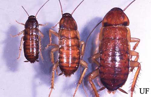 Fifth, sixth and seventh instar nymphs of the American cockroach, Periplaneta americana (Linnaeus).