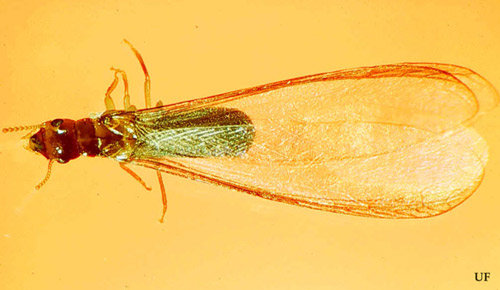 Alate (reproductive) of the West Indian drywood termite, Cryptotermes brevis (Walker)
