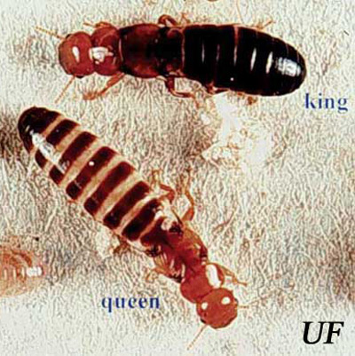 Types of Termites - Drywood