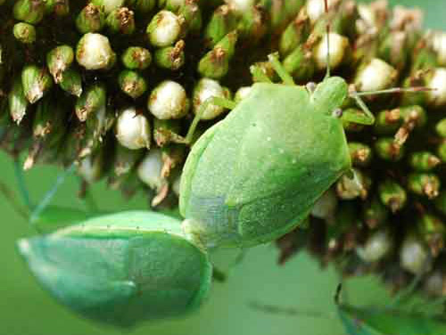 green stink bug - Chinavia halaris (Say)
