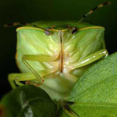 Frontal view of an adult green stink bug, Chinavia halaris (Say).