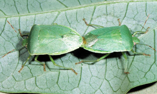 Mating Pair Of Southern Green Stink Bugs Nezara Viridula Linnaeus