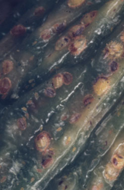 how to kill armoured scale insect
