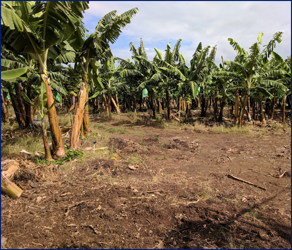 banana trees in a field