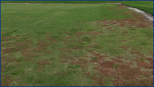 lawn damaged by nematodes