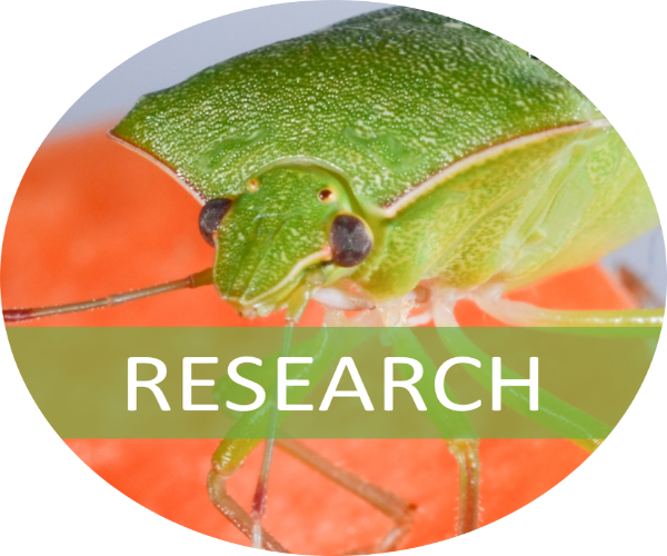 A southern green stink bug on a carrot with a banner indicating that this image is linked to the research webpage section. Photo credit Ke Wu