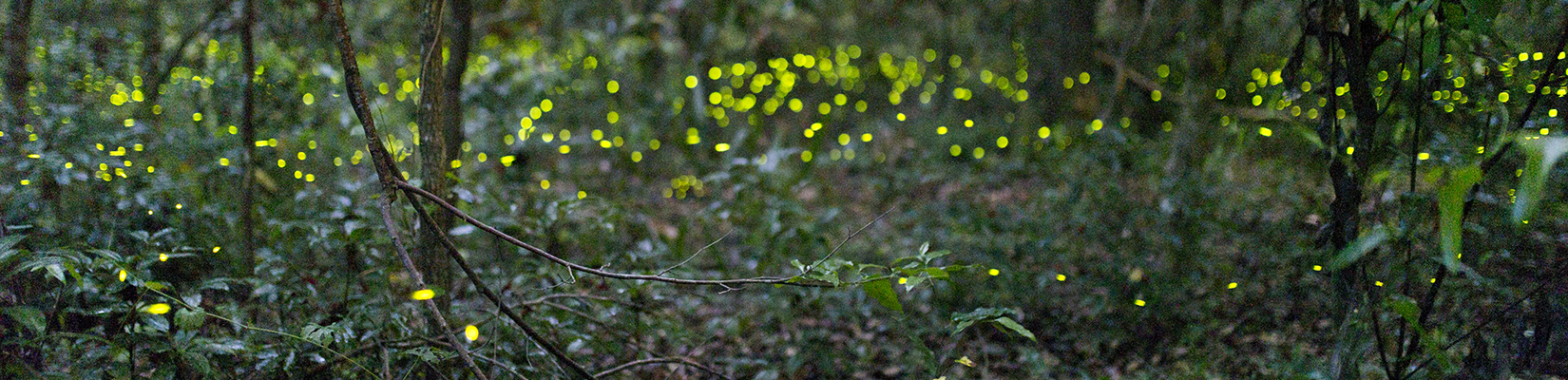 lightening bugs in the forest