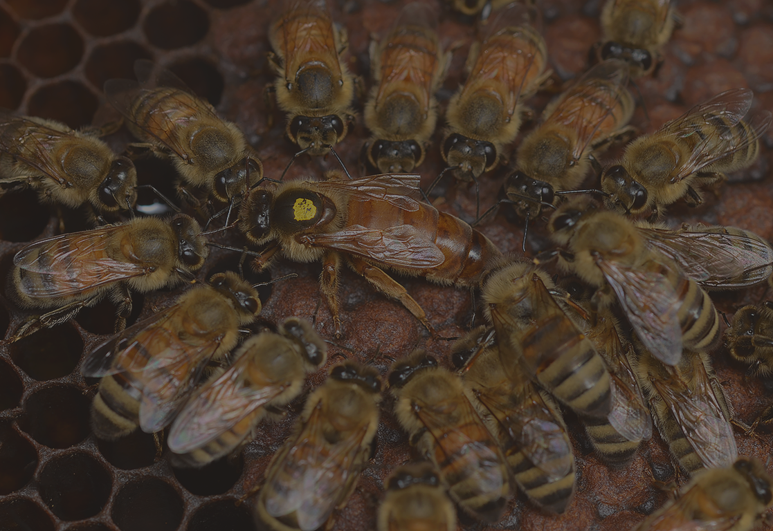 Worker bees surrounding a queen bee