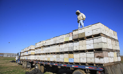 Commercial beekeeper standing on truck load of beehives